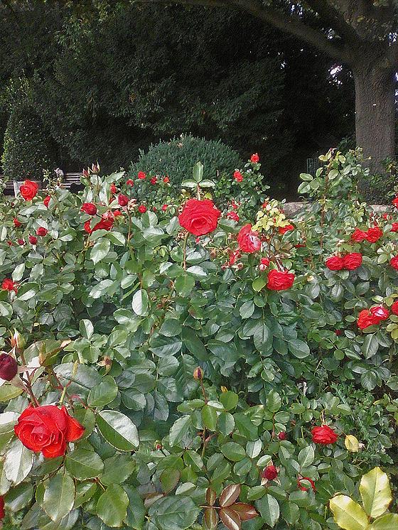 Rosengarten im Humboldthain